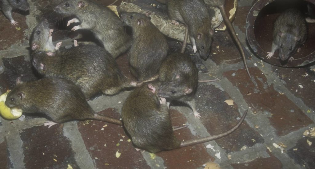 уничтожение крыс в Наро-фоминске